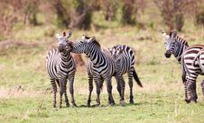 Free Herd Of Zebras (African Equids) Royalty Free Stock Images - 14282799