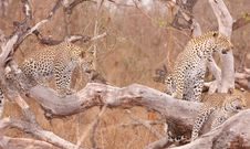 Three Leopards Resting On The Tree Royalty Free Stock Images