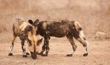 Free Couple Of African Wild Dogs (Lycaon Pictus) Royalty Free Stock Image - 14282826
