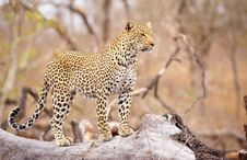 Free Leopard Standing On The Tree Royalty Free Stock Photography - 14282837