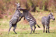 Free Herd Of Zebras (African Equids) Stock Photo - 14282850