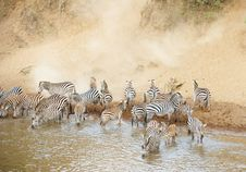 Free Herd Of Zebras (African Equids) Stock Photography - 14282852