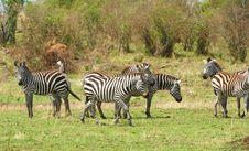 Free Herd Of Zebras (African Equids) Royalty Free Stock Image - 14282856