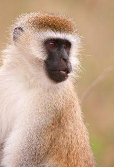 Free Black-faced Vervet Monkey Stock Image - 14282861