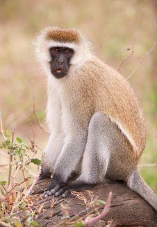 Free Black-faced Vervet Monkey Royalty Free Stock Image - 14282866