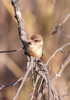 Free Brown-hooded Kingfisher (Halcyon Albiventris) Stock Photo - 14282870