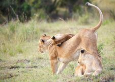 Free Lion Cubs (panthera Leo) With Their Mother Stock Image - 14282871