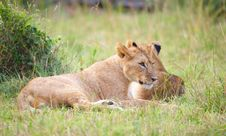 Free Two Lion Cubs (panthera Leo) In Savannah Royalty Free Stock Photo - 14282875