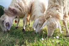 Free Sheep Three. Royalty Free Stock Photos - 14282948