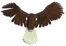 Free American Bald Eagle Flying And Hunting Back Royalty Free Stock Photography - 14282967