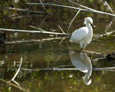 Free Snowy Egret Stock Image - 14283321