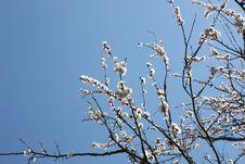 Free Blossom Tree 2 Stock Photography - 14283462