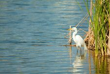 Free Great Egret By The Lake Royalty Free Stock Images - 14283919