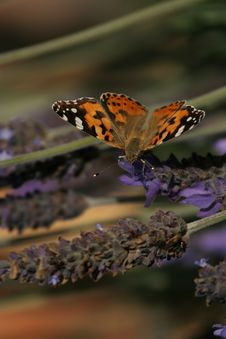 Painted Lady Butterfly On Plant Royalty Free Stock Photography