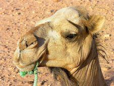 Free Close Up Dromedary Royalty Free Stock Image - 14284196