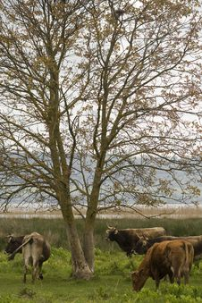 Free Cows Around The Tree Stock Photo - 14285320