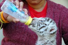 Free Feeding White Tiger Royalty Free Stock Photo - 14285485