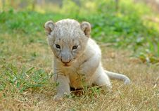 Free Baby Lion Stock Photos - 14285503