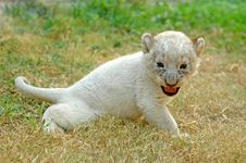 Free Baby Lion Royalty Free Stock Image - 14285516