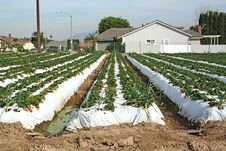 Free Stock Image Of Strawberry Farm In California Stock Photos - 14285693