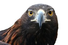 Free Eagle Stock Image - 14286201