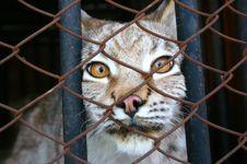 Free Lynx Royalty Free Stock Photo - 14286315