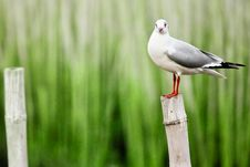 Free Sea Gull Royalty Free Stock Image - 14287006