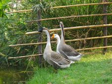 Free Lovely Goose Royalty Free Stock Photo - 14287735