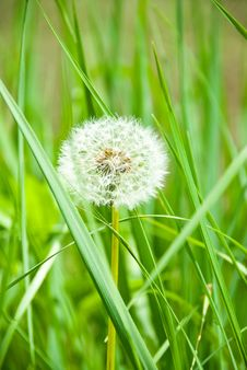Single Dandelion In Grass Royalty Free Stock Image