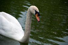 Free Swan Royalty Free Stock Images - 14287889