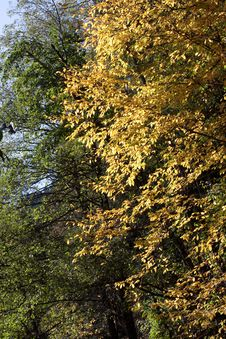 Free Golden Fall Leaves Stock Image - 14288291