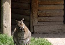 Free Kangaroo Royalty Free Stock Photos - 14288338