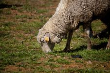 Sheep In The Pasture Stock Photos