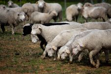 Free Many Sheep Royalty Free Stock Photography - 14288687