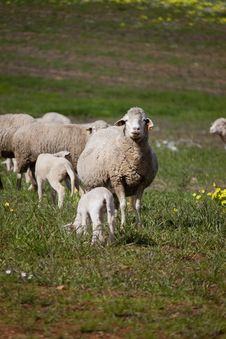 Sheep In The Pasture Stock Photo