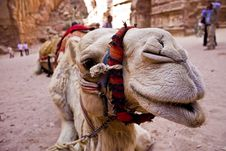 Camel Head Close-up Stock Images