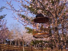 Free Peach Blossom Stock Photography - 14289412
