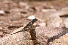 Free Lizard On A Rock Royalty Free Stock Image - 14289436