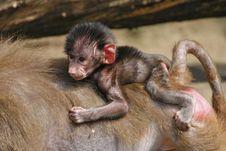 Free Newborn Baby Baboon Stock Image - 14289491