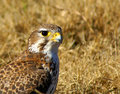 Free Prairie Falcon Royalty Free Stock Images - 14297559