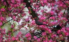 Free Blackbird Turdus Merula In Blooming Tree Stock Photos - 14291263