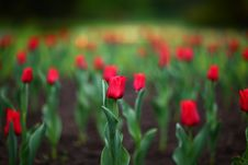 Free Colorful Tulips In The Park Royalty Free Stock Photos - 14291608