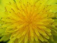 Free Yellow Dandelion Largely Royalty Free Stock Image - 14292746