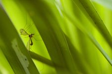 Free Mosquito In The Grass Royalty Free Stock Photography - 14292867