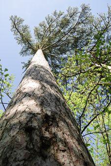 Free Pine Tree Stock Image - 14293391