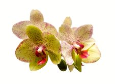 Free Phalaenopsis Stock Photos - 14293493