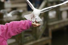 Free Seagull Royalty Free Stock Photos - 14293788