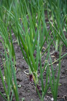 Free Red Onions Royalty Free Stock Images - 14293799