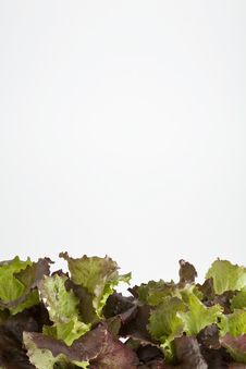 Free Salad Garden Royalty Free Stock Images - 14294489