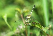 Free Dragonfly Royalty Free Stock Photography - 14294497